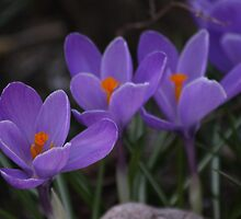 Purple Crocuses by Karyn Boehmer