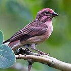 Cassin's Finch - Haemorhous cassinii by amontanaview