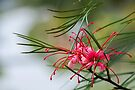 grevillea elegance by gary roberts