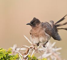 Cape Bulbul Action by Warren. A. Williams