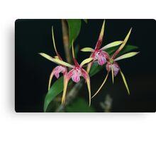 Dendrobium Pee Wee Hybrid Canvas Print