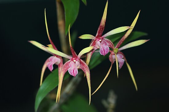 Dendrobium Pee Wee Hybrid by andrachne