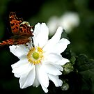 This Butterfly lande exactly for me by hanslittel