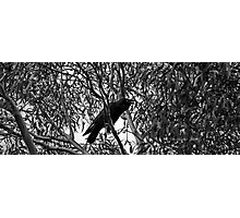 Crowing in b/w Photographic Print