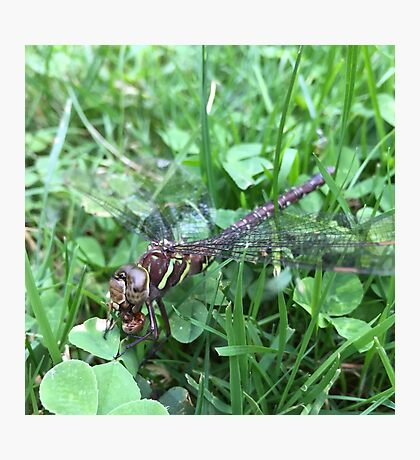 Cannibal Dragonfly Photographic Print