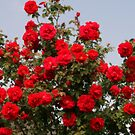 Red Roses And Blue Sky by kkphoto1