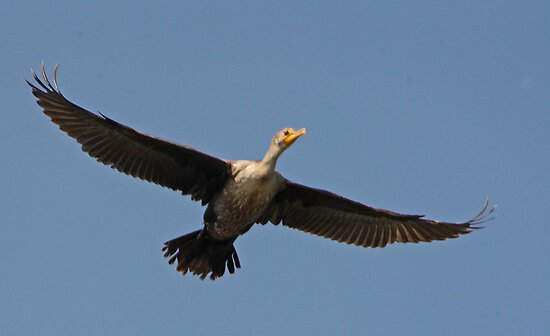 Flying Cormorant by Thomas Murphy
