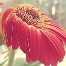 Gerbera Daisy by Kimberly Palmer