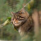 Scottish Wildcat  by Dorothy Thomson