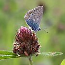 Silver-studded Blue Butterfly on Red Clover - Plebejus argus by Lepidoptera