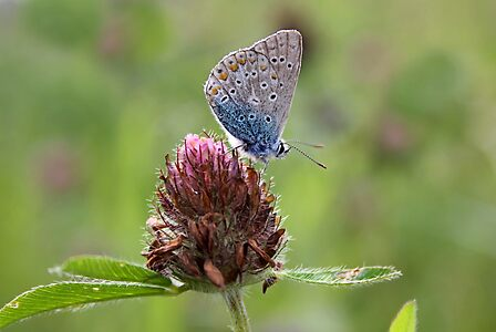 Silver-studded Blue Butterfly on Red Clover - Plebejus argus