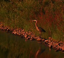A Crane Looking for dinner by Adam Kuehl