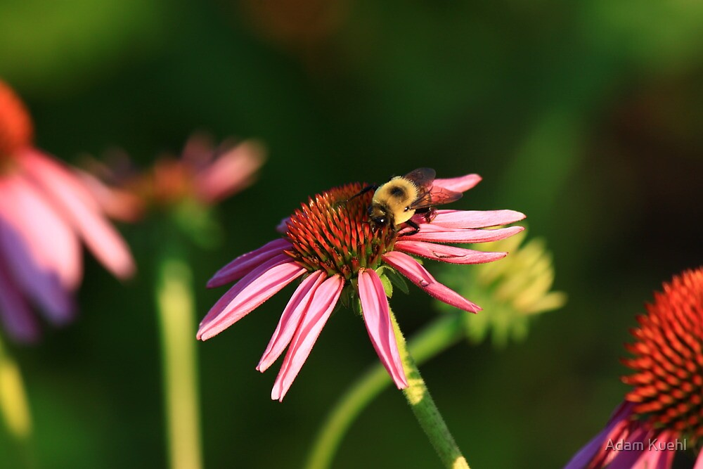 Bumble me Daisy by Adam Kuehl