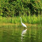 Egret lurking for dinner by Adam Kuehl