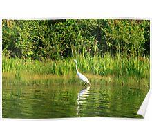 Egret lurking for dinner Poster