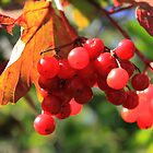 Wild cranberry bush by Jim Sauchyn