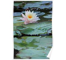 Water Lily Surrounded by Lily Pads Poster
