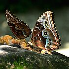 two blue morphos by Margaret  Shark