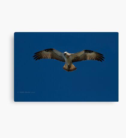 Osprey in Flight. Canvas Print