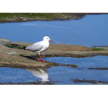 Silver Gulls Photographic Print