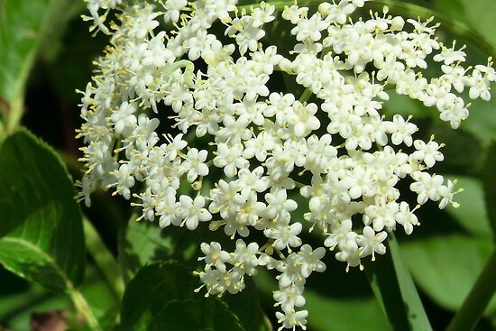 Elderberry Blossoms by Kathleen M. Daley