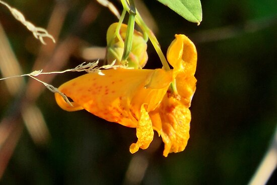Jewelweed by Kathleen Daley
