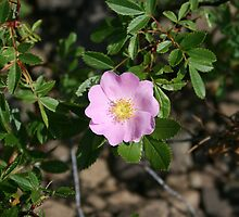 Dwarf Rose by Kathleen M. Daley