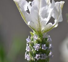 White Lavender by TheaShutterbug
