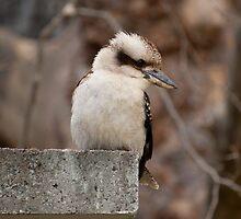 Kookaburra spotting his lunch by bindabee