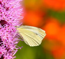 cabbage butterfly on orange by Jicha