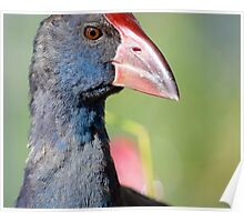 Purple Breasted Swamp Hen Poster
