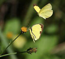Common Grass Yellow Butterflies 2 by Nikki25