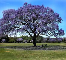 100 Year Old Jacaranda Tree by Nikki25