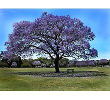 100 Year Old Jacaranda Tree Photographic Print