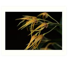 Dendrobium Star of Gold Art Print