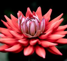 Dahlia  by Paul Richards