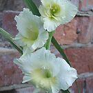 White Gladioli by kenwalters