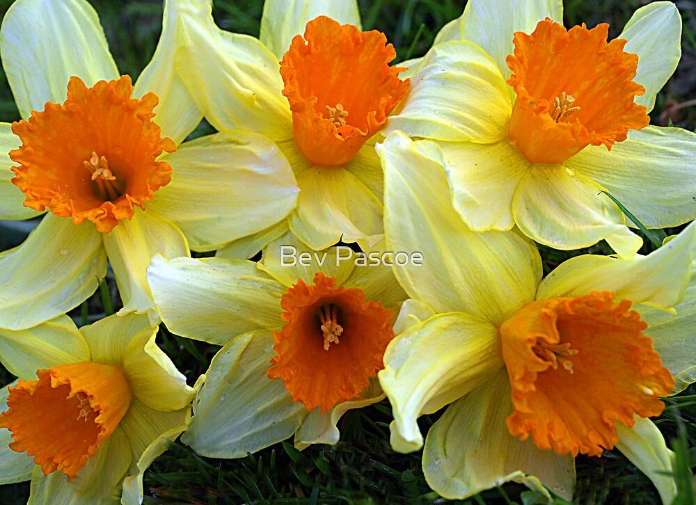 Daffodils heralding Spring by Bev Pascoe