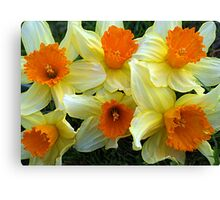 Daffodils heralding Spring Canvas Print