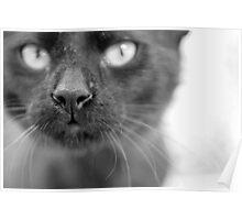 Black cat closeup Poster