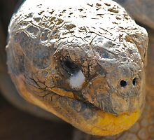 Galapagos Tortoise Profile by peasticks