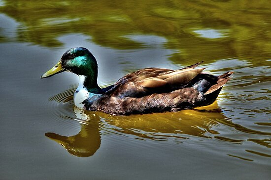 Mallard (HDR) by larry flewers