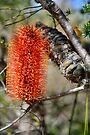 Banksia - Ku-ring-gai Wildflower Garden by Ian Berry