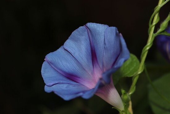 Morning Glory Macro by aprilann