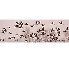 Cranes Across the Trees Photographic Print