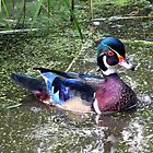 Male wood duck by hummingbirds