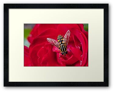 En Bee on Rose  by Paul Woods