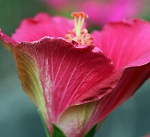 Soft Hibiscus by Lynn Gedeon