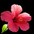 Pink hibiscus by hummingbirds