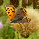 Autumnal or Butterfly on a shaving brush by jesika